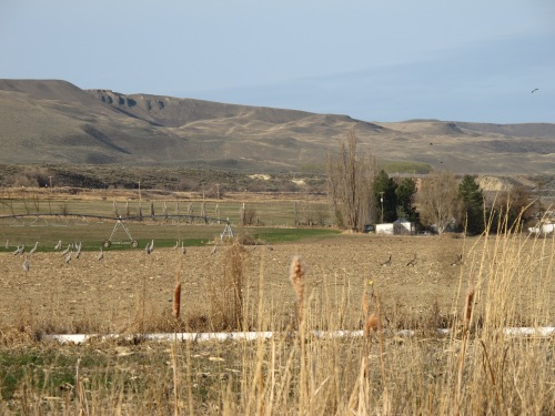 Sandhill cranes frolic in the fields of the Danielson farm, with the Saddle Mountain cliffs looming over it. Photograph by Phyllis Danielson.